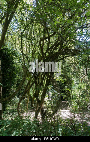 Entwined multiple tree trunks - Stock Image