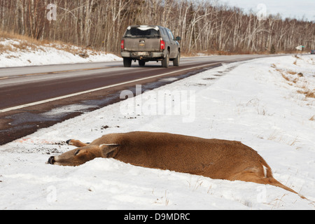 Dead deer killed by a vehicle on Highway 61 on the North Shore of Minnesota. - Stock Image
