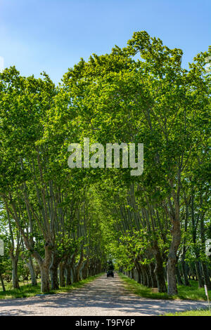 Scenic Provencal large old plane trees alley in summer and black car - Stock Image
