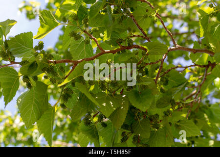 Young green unripe mulberry berries riping on tree in spring - Stock Image