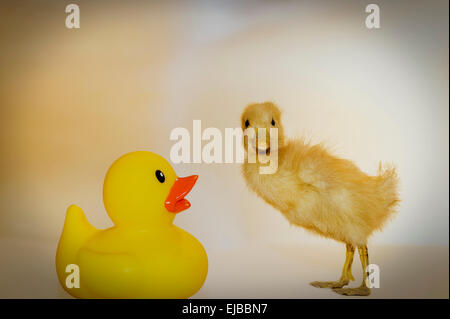 odd couple rubber duck and chick - Stock Image
