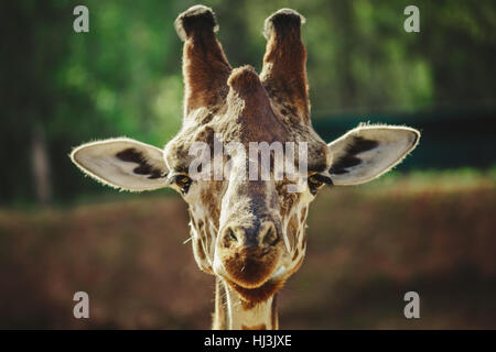 Giraffe portrait - looking into the camera with open ears - Stock Image