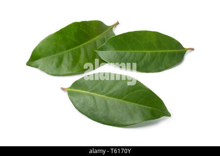 Fresh green Indonesian bay leaves isolated on white background - Stock Image