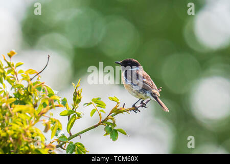 Stonechat male, Saxicola rubicola, close-up in the morning sun - Stock Image
