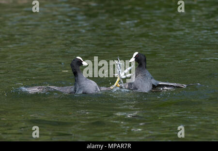 two male Eurasian Coot, also known as Common Coot or Coot, (Fulica atra), fighting in a territorial dispute, Regents Canal, London, United Kingdom - Stock Image
