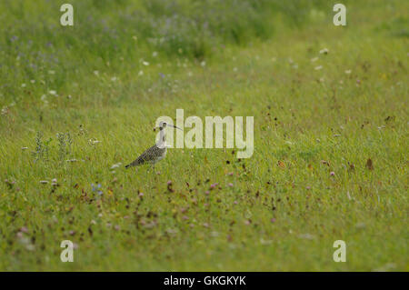 Eurasian curlew ( Numenius arquata ) near Mihkli village in Pärnu county, Estonia - Stock Image