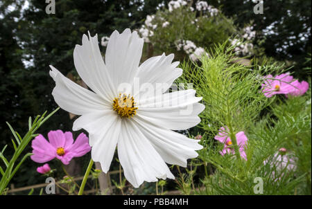 White and pink cosmos, cosmos bipinnatus, growing in front of a garden arch covered in white jasmine flowers - Stock Image