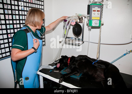 Anaesthetised Dog Being Monitored by a Veterinary Nurse - Stock Image