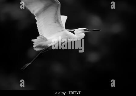 Little egret white bird in flight - Stock Image