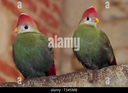 Two Red Crested Turacos (tauraco erythrolophus) - Stock Image