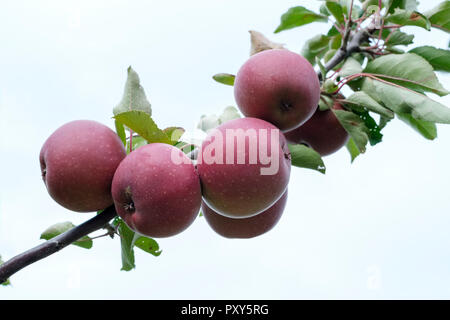 Apple TICKLED PINK- Baya Marisa Malus domestica, ripe fruit growing on a tree, white background - Stock Image