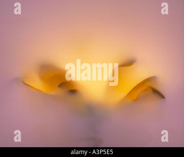 photogram of flower petals - Stock Image