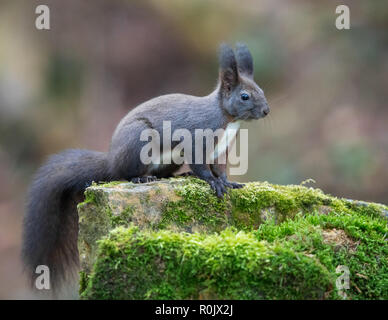 Eurasian Red Squirrel (Sciurus vulgaris) in winter coat, on a moss-covered  rock - Stock Image