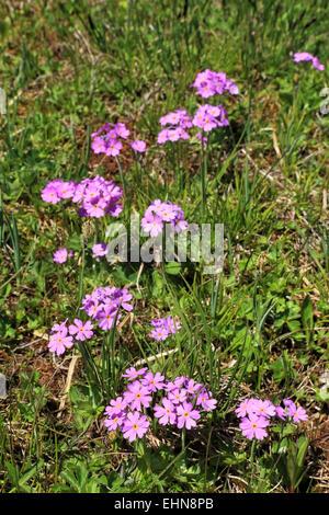 Fairy Primrose (Primula minima), Seiser Alm, / Alpe di Siusi - Stock Image