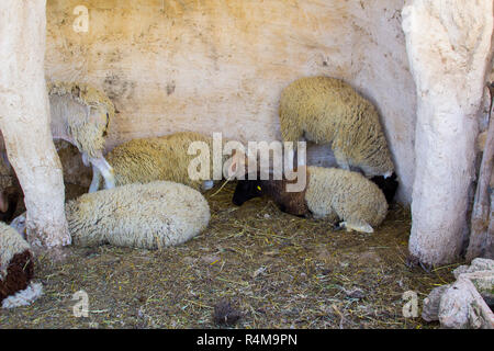 Various sheep breeds in a replica 1st century sheep pen in Nazareth Village Israel. This village experience is designed to give the vistor a feel of t - Stock Image