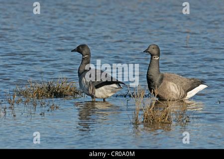 Pair of dark-bellied brent geese (Branta bernicla bernicla) on flooded saltmarsh at high water on the Wash, Norfolk. - Stock Image