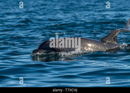 Bottlenose Dolphin (Tursiops truncatus) on the surface off the coast of Baja California, Mexico. - Stock Image