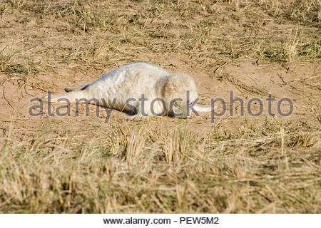 A Grey Seal pup fast asleep on a sandy patch surrounded by grass. - Stock Image