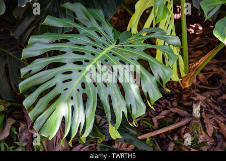 Monstera plants growing in tropical forest in the Chanchamayo region of Peru - Stock Image
