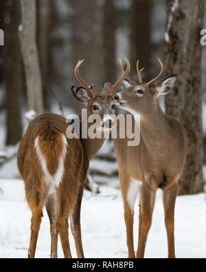 Two alert whitetail deer bucks standing in the snow on the edge of the Adirondack wilderness - Stock Image