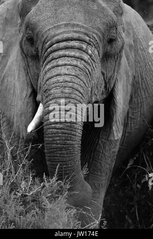 Portrait of a single-tusked African Elephant (Loxodonta Africana). Elephant tusks belong to elephants, not the ivory trade. Say NO to ivory. - Stock Image