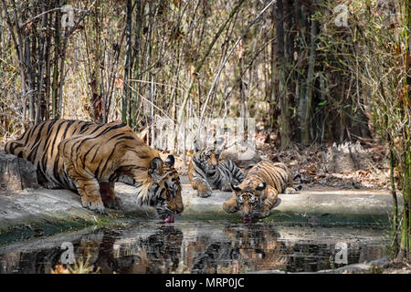 Two cute little two month old Bengal Tiger Cubs, Panthera tigris tigris, and their adult male father drinking, Bandhavgarh Tiger Reserve, India - Stock Image
