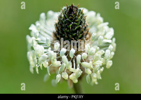 Ribwort, Ribwort Plantain or Ribgrass (plantago lanceolata), a close up of a solitary flower head. Also known as Soldiers or Fighting Cocks. - Stock Image