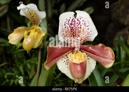 botany, lady's slipper, (Paphiopedilum), orchid, (orchidaceae), blossom, Additional-Rights-Clearance-Info-Not-Available - Stock Image