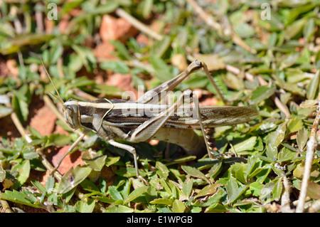 Giant grasshopper (Acanthacris ruficornis : Acrididae : Cyrtacanthacridinae) female ovipositing, Namibia - Stock Image