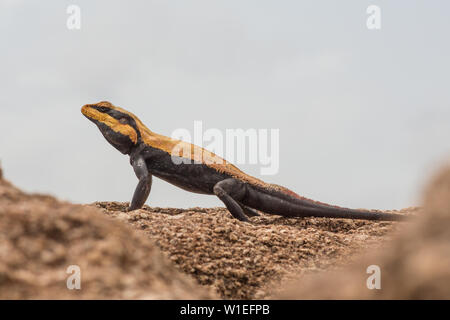 A south Indian rock agama lizard basking in the sun. - Stock Image