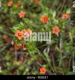 Scarlet flowers of Scarlet Pimpernel / Anagallis arvensis in a sunny field. - Stock Image