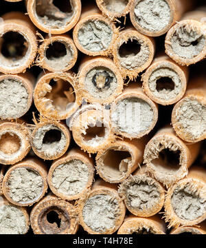 Mason bee looking out of a tube, surrounded by other tubes - Stock Image