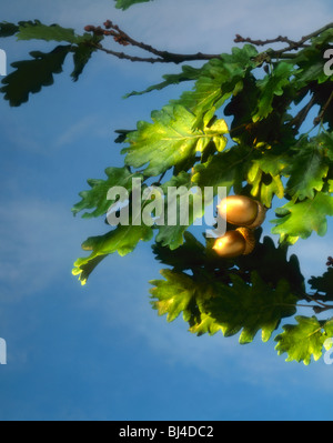 Gold Acorns on Tree Branch - Stock Image