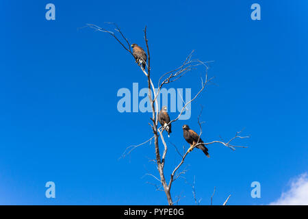 Thee adult Harris Hawks (Parabuteo unicinctus)bperched on a tree branch with blue sky in the Sonoran Desert of Tucson (Arizona) - Stock Image