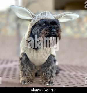 Dog in rabbit coat - Stock Image