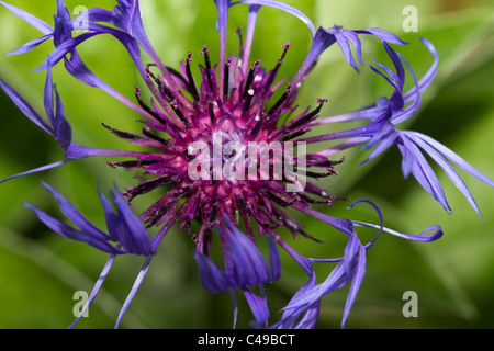 Vibrant blue and purple cornflower just starting to open in morning sun. - Stock Image