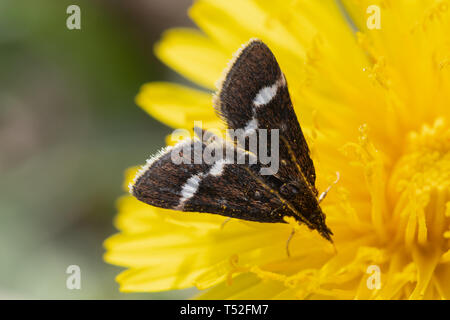 Close-up of a small moth on a dandelion - Stock Image