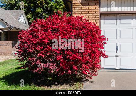 Burning bush, Euonymus alatus planted at the corner of a house in Wichita, Kansas, USA. - Stock Image
