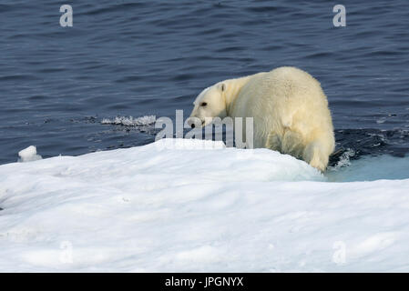 A male Polar Bear (Ursus maritimus) on the ice floe of Baffin Bay, Arctic Circle, going for a swim - Stock Image