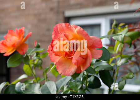 Red Rose flower in bloom - Stock Image