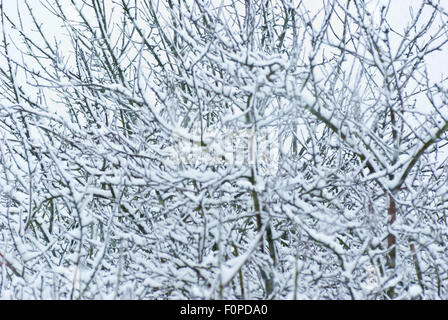 Fruit trees with snow laden branches and snow falling. - Stock Image