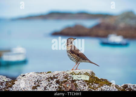 Thrush on a rock on St Agnes on the Isles of Scilly off the westernmost tip of Cornwall in the West of England - Stock Image