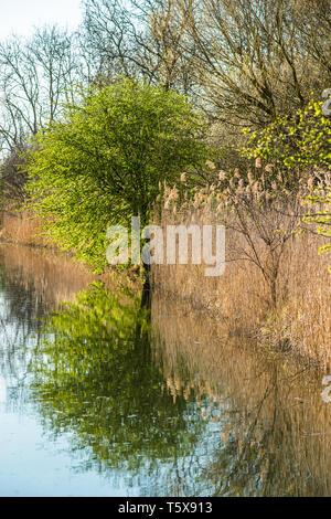 Lode waterway on Wicken Fen nature reserve, Cambridgeshire; England; UK - Stock Image