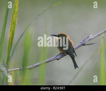 A little bee-eater (Merops pusillus) perches on a branch among rushes on the banks of Lake Victoria in the Entebbe Botanical Gardens. Entebbe, Uganda. - Stock Image