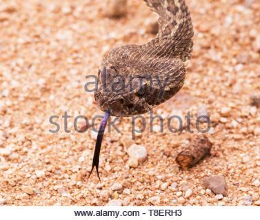 Mohave Rattlesnake, Crotalus scutulatus, Mojave Rattlesnake, in Arizona USA - Stock Image