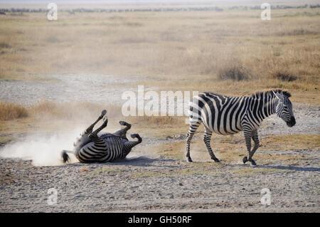 zoology / animals, mammal (mammalia), zebra (Equus quagga) during sand bath, Ngorongoro crater, Ngorongoro Conservation - Stock Image