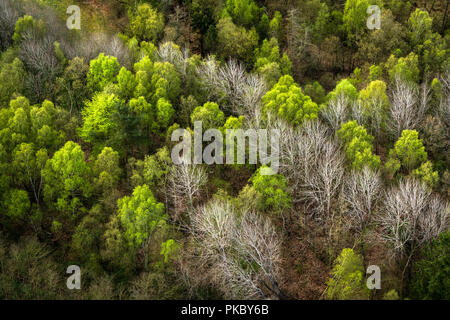 Forest seen from above with green and white trees in the spring - Stock Image