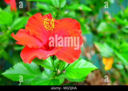Red Chinese Rose in the Garden. - Stock Image