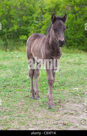 Icelandic horse foal - Stock Image