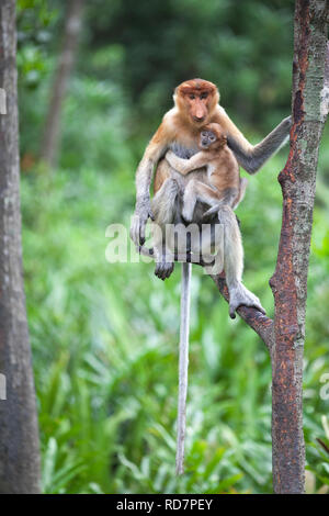 Proboscis Monkey mother and 6-8 week old baby (Nasalis larvatus) perched in tree while watching other monkeys - Stock Image